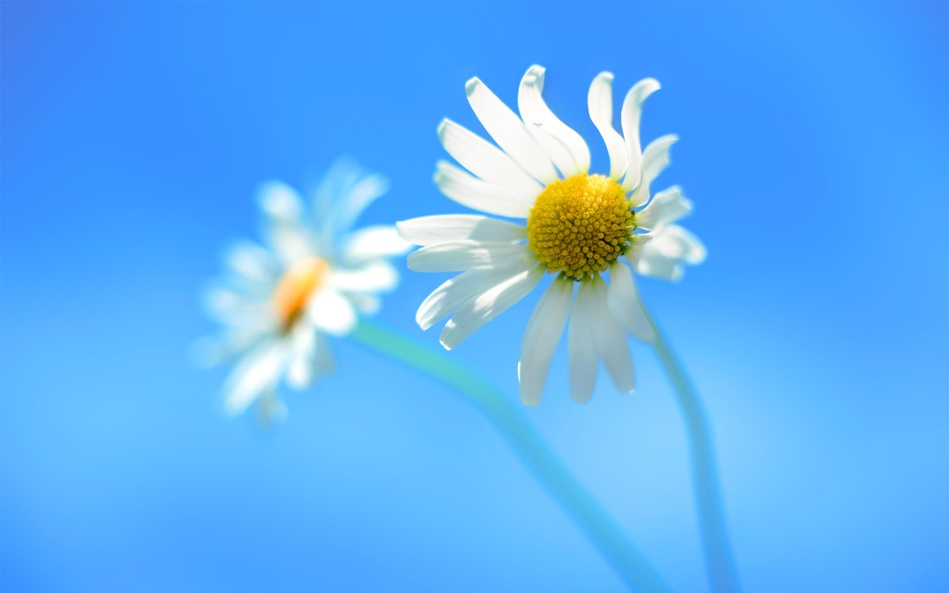 Windows 8官方壁纸 - 母菊